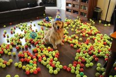 Golden Retriever gets best birthday present ever...a room-full of over 800 tennis balls.