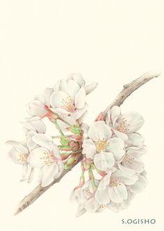 櫻 Fabric Painting, Watercolor Paintings, Watercolour, Botanical Art, Botanical Illustration, St Micheal, Shabby Fabrics, Daily Drawing, Step By Step Drawing