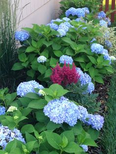 Hydrangeas late Spring