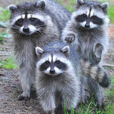 Hey, it's the boys who live under our deck!  Did you know raccoons only like dry cat food, not wet?!