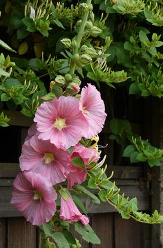 Pink Hollyhocks - i remember hollyhocks in my mom's garden, when i was a child...