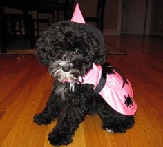 Schnoodle dog witch costume halloween