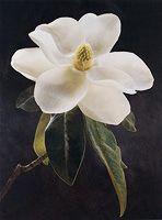 (CD-415) - Cy DeCosse: Magnolia