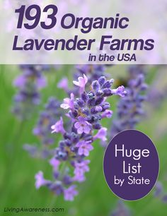 List of organic lavender farms.Visit a lavender farm or mail-order fresh or dried lavender. Organic lavender for your home herbal remedies with lavender. Make lavender tea, lavender oil for headaches..... http://livingawareness.com/list-193-organic-lavender-farms/