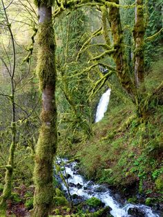 Multnomah Falls, Oregon. Tree moss