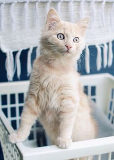 """corporation-cats: """" This is my baby, Chaplin, and my favorite model to shoot. Cute Cats And Kittens, Cool Cats, Kittens Cutest, Pretty Cats, Beautiful Cats, Pretty Kitty, Matou, Photo Chat, Mundo Animal"""
