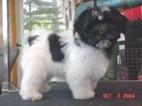 havanese grooming styles | Dog Grooming Basics 101 for Pet Groomers