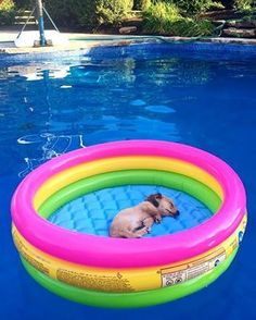 Doxies are incredibly good at relaxing. | 21 Reasons Why Dachshunds Are Gifts To…