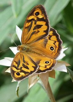 Australian Common Brown Butterfly and Daisy by Margaret Saheed Types Of Butterflies, Flying Flowers, Butterflies Flying, Beautiful Bugs, Beautiful Butterflies, Butterfly Kisses, Butterfly House, Butterfly Photos, Moth Caterpillar
