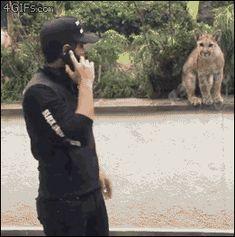 Puma-jaguar-cubs-maul-man