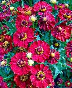 Helenium autumnale Mariachi™ series 'Siesta'