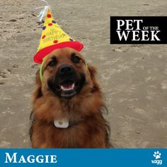Meet Maggie - winner of our final Pet of the Week Contest of 2013. Maggie is shown here celebrating her 3rd birthday at the beach! Congrats and thanks to Pete K. for submitting this awesome photo. #taggpetoftheweek