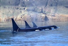 Orcas - looks like a subpod, at least one young male, maybe all 3
