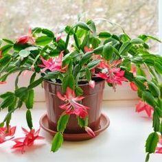 Como cultivar Flor de Maio