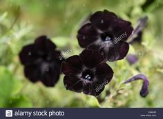 Download this stock image: Black flowers of the Black Velvet Petunia. - ea4c45 from Alamy's library of millions of high resolution stock photos, illustrations and vectors.