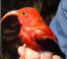 The endangered 'i'iwi is one of the Hawaiian honeycreeper species. They evolved in the forests of Hawai'i and are found nowhere else in the world. This bird was banded and released back to the forest.  Hakalau Forest National Wildlife Refuge, HI  March 2012  Photo: Noah Kahn/USFWS