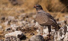 Pale Chanting Goshawk, Etosha, Namibia. Wildlife, Photos, Animals, Animales, Pictures, Animaux, Animal, Cake Smash Pictures, Animais
