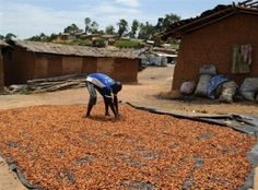 A farmer spreads cocoa beans to dry under the sun