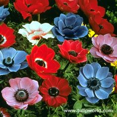 Features of Species or Group:  Anemone coronaria is available in a lovely range of clear colours including red, white, blue, violet, cerise and pink, all with a black to deep navy blue centre.    Features of Genus:  Anemones, also known as windflowers, form a large and versatile group of plants. The flowers are often very colourful, and can be daisy-like with lots of petals, or cup-shaped, rather like poppies. Anemones flower in spring; the anemone coronaria will also flower in summer