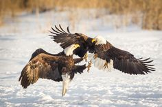 Two American Bald Eagles fighting over fish in Northern Utah Fights On by RobsWildlife.com  - Rob Daugherty on 500px