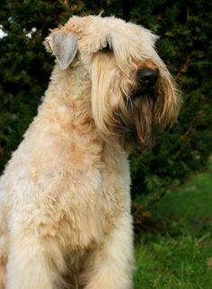 Irish Soft Coated Wheaten Terrier Irish Dog Breeds, Unusual Dog Breeds, Wheaten Terrier, Terrier Breeds, Companion Dog, Dogs And Puppies, Doggies, Scottish Terrier, Beautiful Dogs