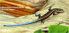 Colorful Lizards | Blue-tail striped skink (Emoia impar)