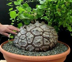 Succulent Turtleback plants seeds Dioscorea elephantipes seeds very rare South Africa Elephant foot seeds garden bonsai.Dioscorea elephantipes elephants foot or Hottentot bread syn Testudinaria elephantipes is a species of flowering plant in the genu Weird Plants, Unusual Plants, Rare Plants, Exotic Plants, Cool Plants, Bonsai Plants, Potted Plants, Indoor Plants, Succulent Bonsai