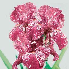 Iris germanica 'Baboon Bottom'