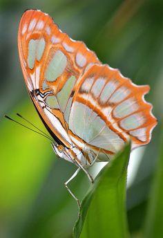 Malachite Butterfly, Orange Crush,