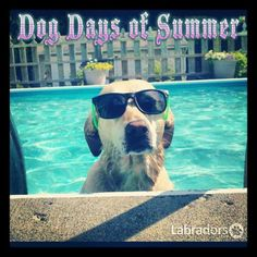 Best way to cool off in the summer :) #summer #dog #lab Labradors.com