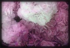 Hydrangeas in shades of Pink