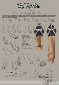 Paw Tutorial 2012, how to draw / Tutorial su come disegnare la Zampa - by Spike654 on deviantART
