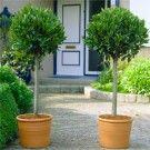 Catalpa Bignonioides Nana - Indian Bean Tree - LARGE 170-200cm Tree - Garden Plants