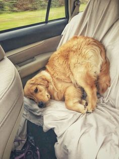 Dog Grooming Golden Retriever I don't know how to car. Grooming Golden Retriever I don't know how to car. Cute Funny Animals, Cute Baby Animals, Funny Dogs, Animals And Pets, Golden Retriever Mix, Golden Retrievers, Australian Shepherd Dogs, Cute Dogs And Puppies, Doggies
