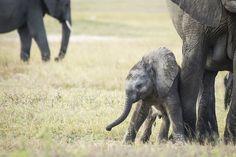 Baby elephant #Hwange #Zimbabwe Zimbabwe, Baby Elephant, Wilderness, Safari, Trail, Wildlife, Africa, Walking, Tours
