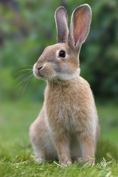 Raising Rabbits for Profit: If you've considered raising rabbits for profit, read this advice from a professional conservation breeder. Animals bunny Raising Rabbits for Profit - Animals - GRIT Magazine Cute Baby Animals, Farm Animals, Animals And Pets, Animals For Kids, Rabbit Pictures, Animal Pictures, Baby Bunnies, Cute Bunny, A Bunny