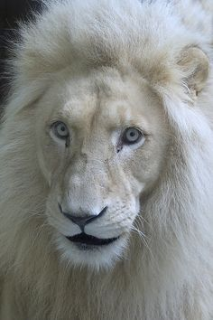 white lion - for my charlie bear. A all type of cats lover
