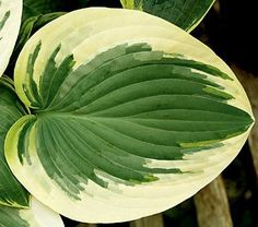 Pie a la Mode Hosta - 4.5 Inch Container