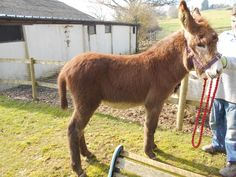 Geronimo louis: MAMMOTH JACKSTOCK DONKEY. Courtesy: Meadow View Miniature Donkey Stud, Durley, Hampshire (UK).