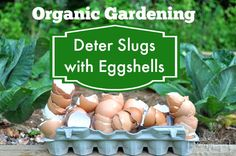 Organic Gardening - How to Deter Slugs and Snails with Egg Shells