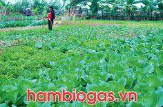 vườn sau sử dụng nước xả từ hầm biogas composite