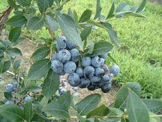 Klassen Blueberries Ltd. Blueberries, Fruit, Food, Blueberry, Meal, The Fruit, Essen, Hoods, Meals