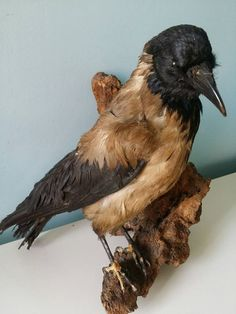 Hey, I found this really awesome Etsy listing at https://www.etsy.com/listing/269956325/taxidermied-hooded-crow-mounted-crow