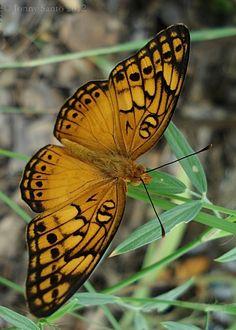 Agraulis Vanilla Butterfly - by Jonny Santo on [500px]