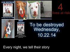 TO BE DESTROYED: 4 dogs to be euthanized by NYC ACC- WED. 10/22/14. This is a HIGH KILL shelter group. YOU may be the only hope for these pups! ****PLEASE SHARE EVERYWHERE!!! To rescue a Death Row Dog, Please read this: http://www.urgentpetsondeathrow.org/category/news/helpful-links/ To view the full album, please click here: www.facebook.com/...