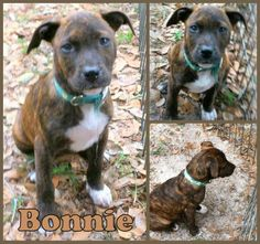 1/25/14 STILL AVAILABLE. Hi!  I'm Bonnie!  I'm about 9 weeks old and my mom was a walker hound mix.  Not sure about my dad so your guess is as good as anyone's.  I'm a sweet cuddly girl who was one of a litter of 11.  My siblings have all been adopted except me and my...