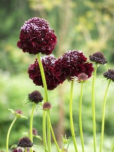 Scabiosa 'Black Knight' (Pincushion Flower) via http://www.momolivingonline.com/garden/