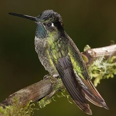 Notice the bill of the Hummingbird in this photo. It is the birds tongue that it uses for drinking nectar from flowers