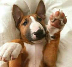 Give me 5 , Bull Terrier