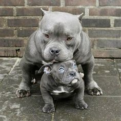 Look at this cute blue pitbull family! www.bullymake.com
